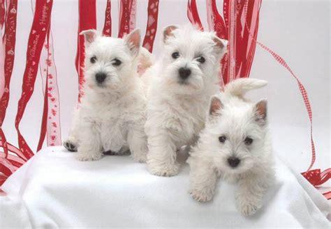 white terrier puppies west highland white terrier puppies for sale akc puppyfinder