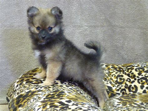 wolf pomeranian cost pomeranian husky mix grown
