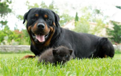taking care of rottweiler puppies baby rottweiler www pixshark images galleries with a bite