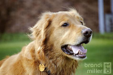 buddy golden retriever buddy the golden retriever by brandimillerart on deviantart
