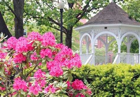 rhododendron care planting and maintenance tips new england today