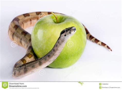 snake apple snake and apple stock photo image of tempation danger