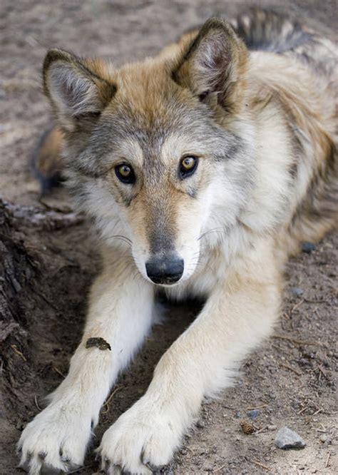 malamute mix puppies raindog12