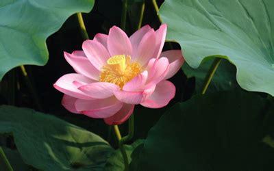 mi remanso de paz flores de goma mi remanso de paz follaje flotante