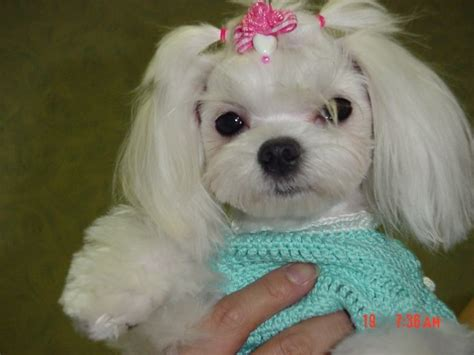 why has my maltese terrier got thin hair 25 cutest maltese haircuts for your little puppy