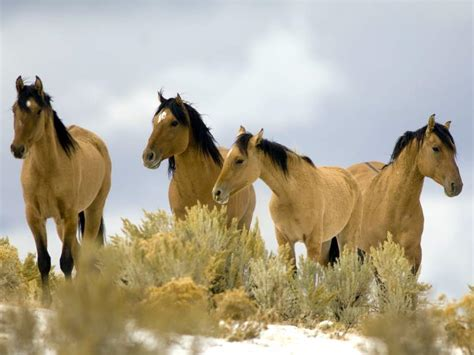blm mustang roundup steens mountain up still on for now blm
