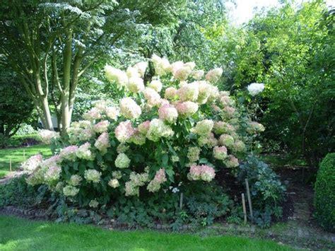 Hydrangea Paniculata Phantom 5200 by Pluimhortensia Hydrangea Paniculata Phantom