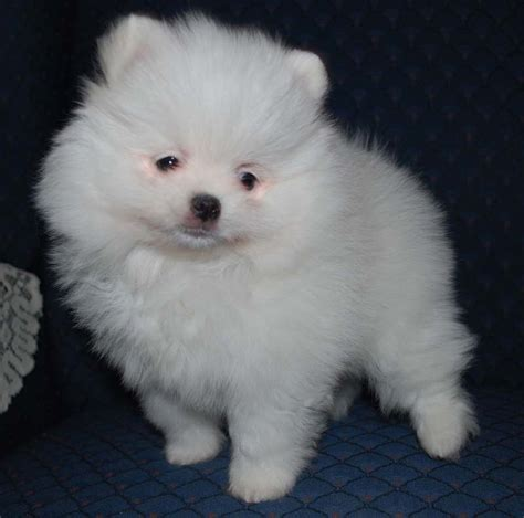 teddy pomeranian puppies for sale in minnesota white teddy pomeranian breeds picture