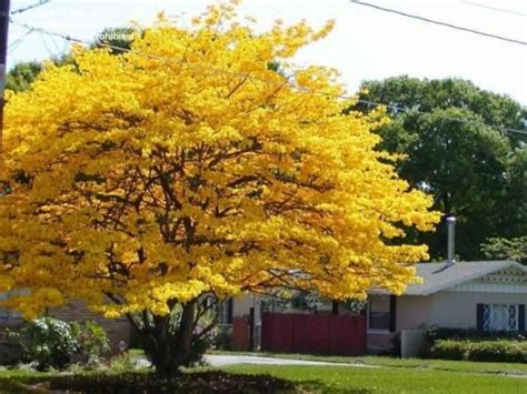 yellow jacaranda tree most beautiful tropical trees garden ideas pinterest trees
