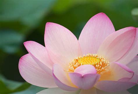 loto fiore il verde in mostra piante e fiori per tutto il mese di