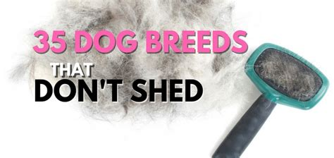 medium dogs that don t shed 35 breeds that don t shed small medium large breeds