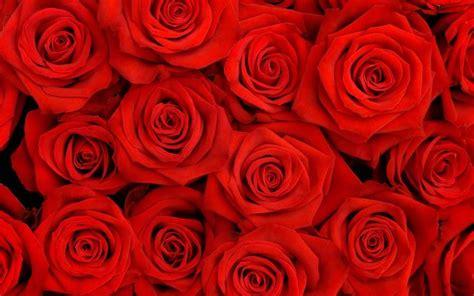 fiore rosa rossa fiori rosa rossa fiori delle piante rosa rossa fiori