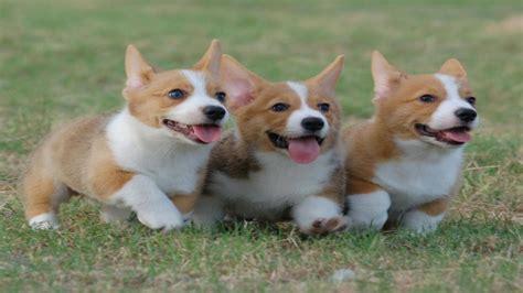 find corgi puppies adorable corgi puppies around
