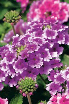 Garten Blumen Kaufen 867 by Stiefm 252 Tterchen Geh 246 Ren Schon Sehr Lange In Unsere G 228 Rten