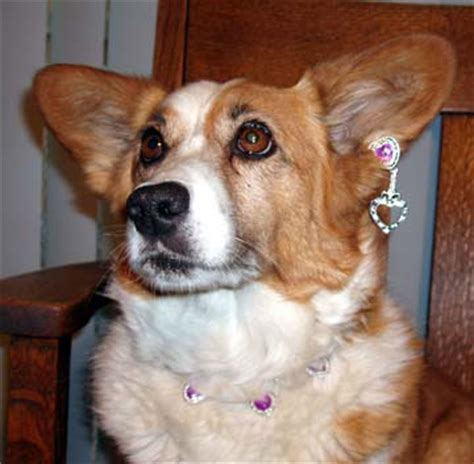 dogs with earrings may 2008 elyan cardigans 2008 may a moment in time