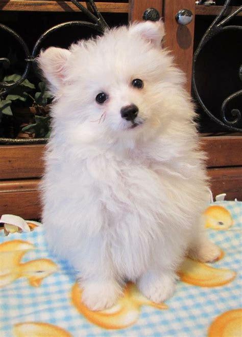 pomeranian poodle mix for adoption henry pomeranian poodle mix puppies to adopt