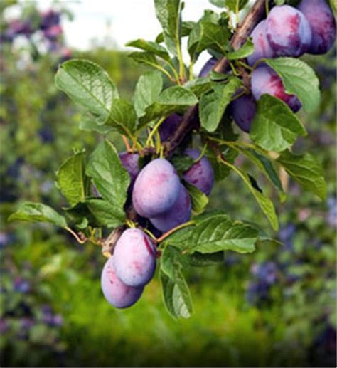 damson fruit trees buy affordable damson plum trees at our nursery