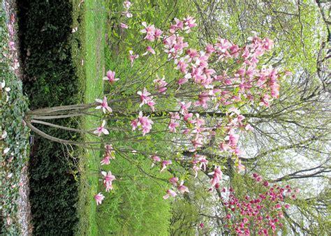 plantfiles pictures saucer magnolia tulip tree big pink