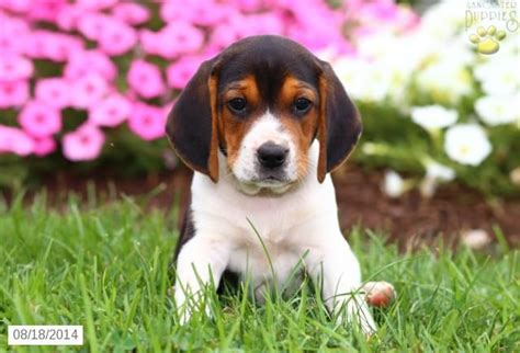 beagle puppies for sale in pa 20 best images about beagle on cas beagle puppies and the o jays