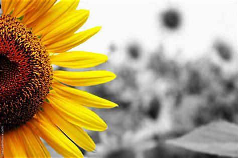 sunflowers background sunflower background wallpapersafari