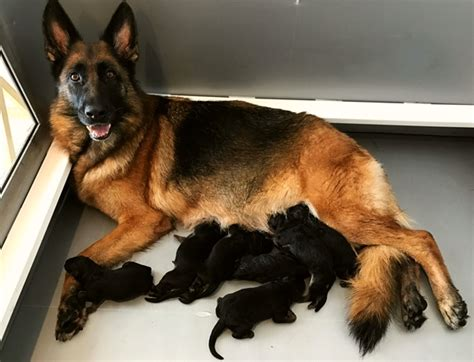 german shepherd puppies for sale in florida german shepherd breeder with german shepherd puppies for sale in boca raton fl