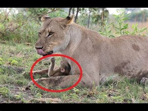 lioness spares baby baboon  killing  mother youtube