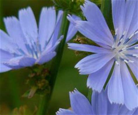 fiori color indaco la cicoria selvatica propriet 224 coltivazione utilizzo