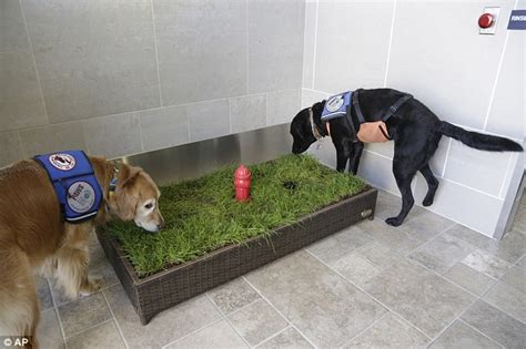 dog going to the bathroom in the house service dogs unveil new indoor toilets for canines at