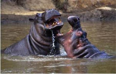 animals world hippopotamus kuda nil