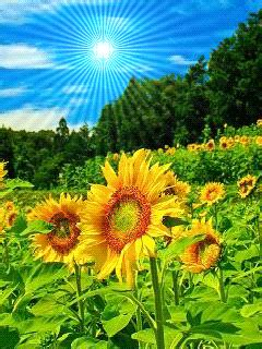 gif themes mobile9 download sunflower stc 167 symbian series 40 5th edition