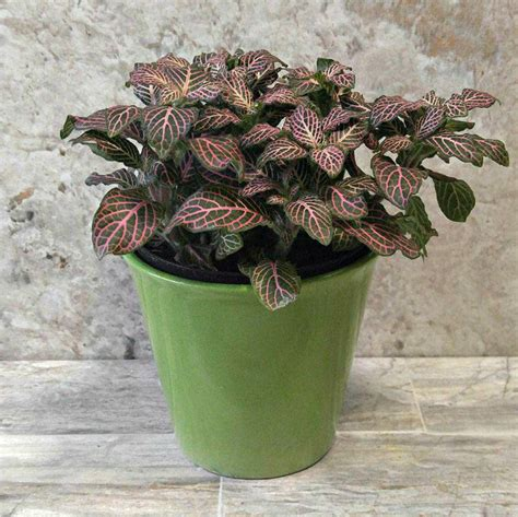growing fittonia albivenis   grow nerve plant pink