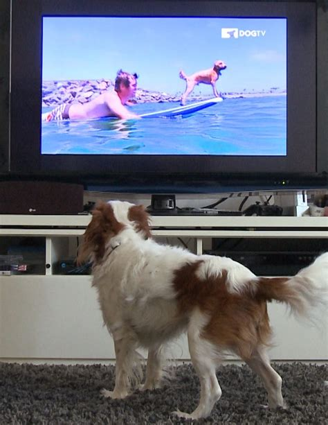 do dogs tv what s the best tv for dogs and do they really like it