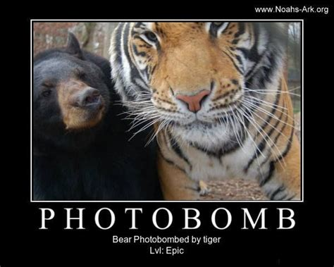 Funny Tiger Memes - little anne bear photobombed by a tiger doc www noahs