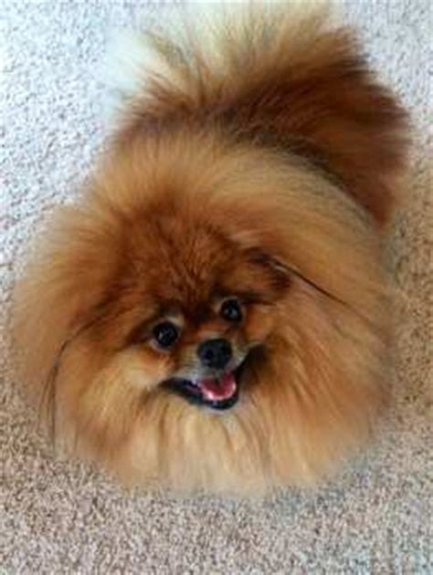 pomeranian home alone pomeranian separation anxiety detailed help when a pom is home alone