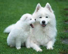 Great Wall Buffet Price by Samoyed Dog Puppies