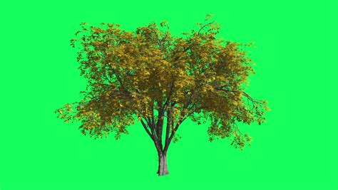 elm tree meaning american elm definition meaning