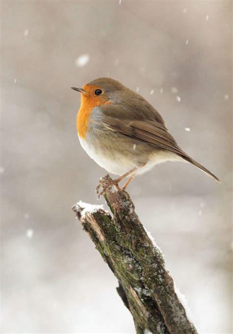 petit rouge gorge sous la neige un tableau de saison