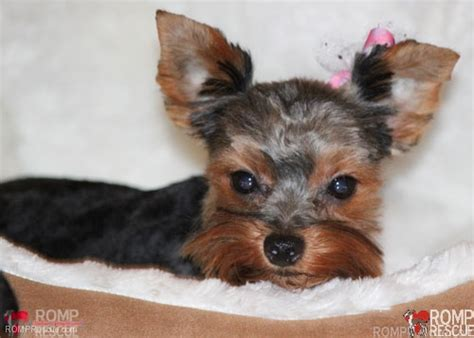 rescue yorkie puppies chicago yorkie puppy rescue romp italian greyhound rescue chicagoromp italian