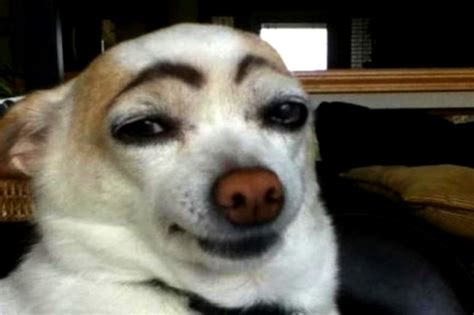 dogs with eyebrows dogs with eyebrows breeds picture