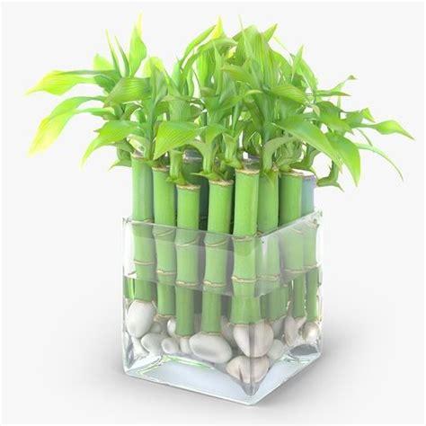 lucky bamboo plants   symbol  luck  success