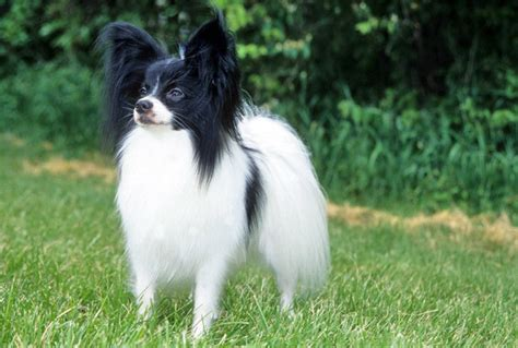 Do Papillons Shed by Do Papillon Dogs Shed 13 Free Wallpaper