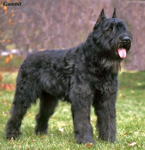 bouvier breed airedale terrier x bouvier des flandres puppies for sale in picture breeds picture