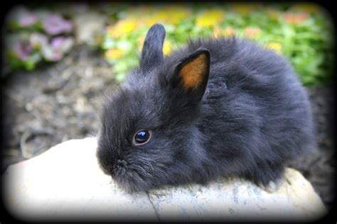 breeds for sale beautiful lionhead bunny rabbits for sale usa rabbit breeders