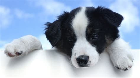 black and white puppy black white puppies wallpaper hd 491 wallpaper high resolution wallarthd
