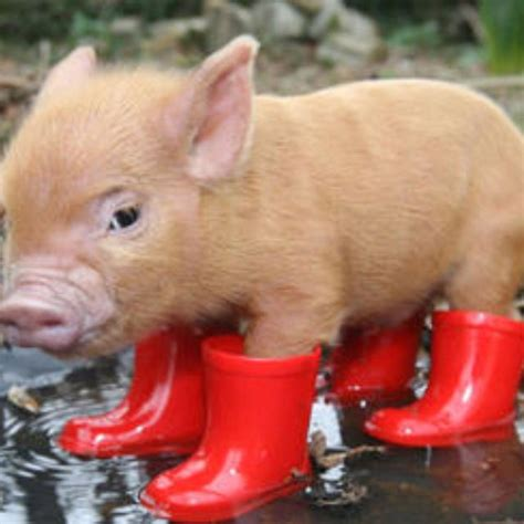 teacup rubber st rubber boots on my imaginary teacup pig animals