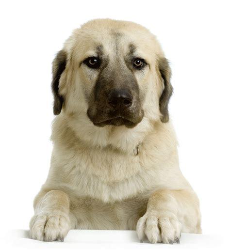 anatolian dogs anatolian shepherd breeders australia anatolian shepherd info puppies