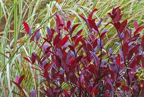 best fall foliage plants the obsessive neurotic gardener