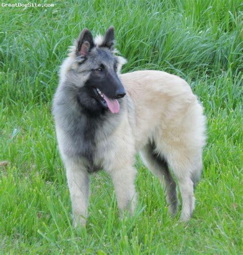 tervuren puppy belgian tervuren photos pictures belgian tervurens breeds picture