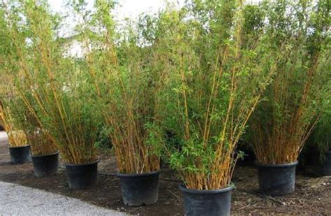 bamboo plants  sale   invasive clumping bamboo
