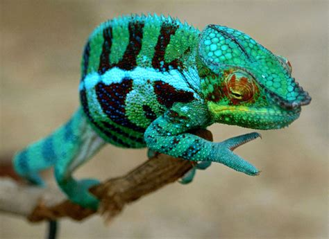 panther chameleon furcifer pardalis found near near a